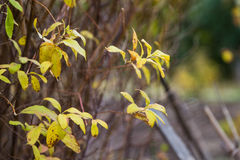 Yellow leaves in autumn forest royalty free stock images