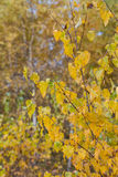 Yellow leaves in autumn forest royalty free stock photo