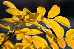 Yellow leaves with autumn frost. Morning Stock Photos