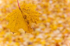 Yellow leaves in autumn Stock Images
