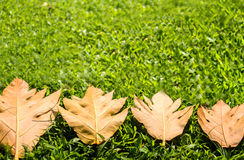 Yellow leaves autumn leaf on green grass  background Royalty Free Stock Image