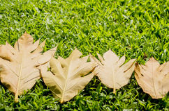 Yellow leaves autumn leaf on green grass  background. Yellow leaves autumn leaf green grass  background Royalty Free Stock Images