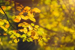 Yellow leaves in autumn season in evening sun flares in a forest royalty free stock photos