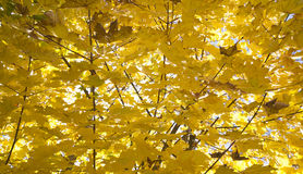Yellow leaves at autumn Royalty Free Stock Image