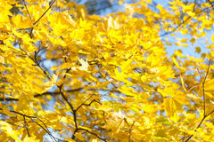 Yellow leaves in autumn sunlight. Sunny day in autumn forest Royalty Free Stock Image