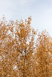 Yellow leaves on autumn trees as a background Royalty Free Stock Images