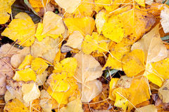 Yellow leaves in autumn wallpaper Stock Photography
