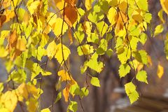 Yellow leaves in autumn stock photography