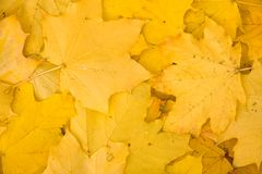 Yellow leaves background Stock Image