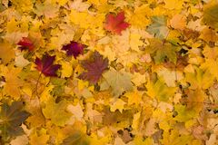 Yellow leaves background Royalty Free Stock Images