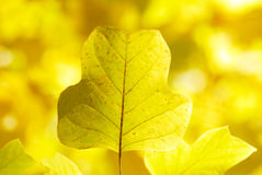 Yellow leaves background Stock Photos