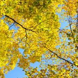 Yellow  leaves on background blue sky Stock Photography