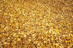 Yellow leaves background golden texture Royalty Free Stock Photos