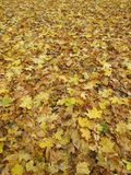 Yellow leaves background. Yellow leaves on the ground background Stock Image