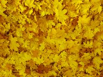 Yellow leaves background, thanksgiving royalty free stock image