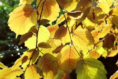 Yellow leaves backlit by the sun Royalty Free Stock Images