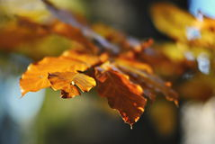 Yellow leaves on a beech tree at autumn. Seasonal beech leaves autumn background Stock Photography