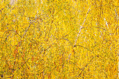 Yellow leaves on the birch Stock Image