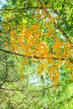 Yellow leaves of birch, and pine branch Stock Photos