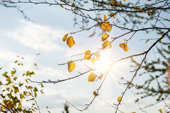 Yellow leaves on the birch tree. Autumn landscape Royalty Free Stock Image