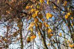Yellow leaves of a birch tree Royalty Free Stock Photos