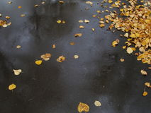 Yellow leaves on the black asphalt Royalty Free Stock Images