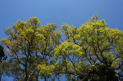Yellow leaves on a blue background. Royalty Free Stock Photo