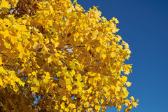 Yellow leaves and blue sky. Yellow leaves on the bright blue sky with copyspace Royalty Free Stock Photography