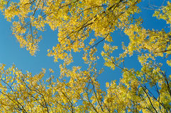Yellow leaves and blue sky. Yellow leaves of a poplar on a background of the blue sky Stock Image