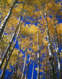 Yellow Leaves Blue Sky. Tall aspen trees , during their autumn color, and a blue sky in the Gunnison National Forest of Colorado Stock Photography