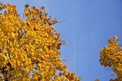 Yellow leaves on a blue sky Stock Images