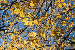 Yellow leaves on blue sky Stock Photos