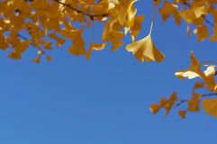 Yellow leaves with blue sky background Royalty Free Stock Photos