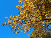 Yellow leaves and blue sky, beautiful autumn nature. Bright yellow foliage on a tree branch of Liquidambar and blue sky Royalty Free Stock Images