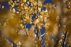 Yellow leaves with blue sky Royalty Free Stock Photography