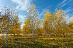 Yellow leaves and blue sky. Stock Photos