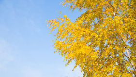 Yellow leaves on a branch against the blue sky in autumn Royalty Free Stock Photo