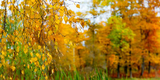 Yellow leaves on a branch. Autumn background yellow birch leaves on a branch Royalty Free Stock Image
