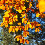Yellow leaves on a branch. Autumn landscape. Beautiful autumn landscape. Yellow leaves on a branch Royalty Free Stock Images