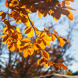 Yellow leaves on a branch. Autumn landscape. Yellow leaves on a branch close-up. Autumn landscape Stock Photos