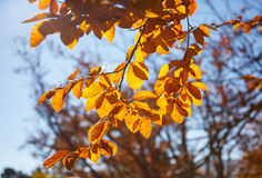 Yellow leaves on a branch. Autumn landscape. Yellow leaves on a branch close-up. Autumn landscape Royalty Free Stock Photo