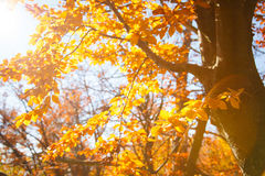 Yellow leaves on a branch. Autumn landscape. Sunny autumn landscape, yellow leaves on a branch Royalty Free Stock Photography