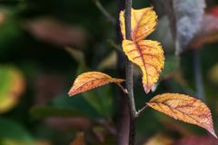 Autumn leaves on branch. Yellow leaves on branch in autumn season,bokeh effect background Royalty Free Stock Images