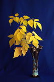 Yellow leaves. Branch of autumn leaves in a vase  on a blue background Stock Photo