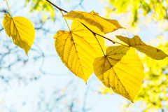 Yellow leaves on a branch backlit Royalty Free Stock Image