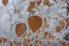 Yellow leaves on the branch covered with hoarfrost. Nature Royalty Free Stock Photos