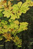Yellow leaves on a branch in fall season woods. Yellow leaves on a serpentine branch in fall color against the deep greens of a dense forest - shallow depth of royalty free stock photos