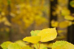Yellow leaves. On branch in the forest. Autumn trees royalty free stock image