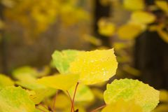 Yellow leaves. On branch in the forest. Autumn trees stock photography