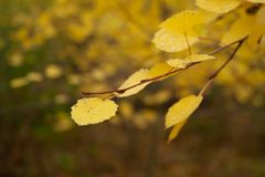 Yellow leaves. On branch in the forest. Autumn trees royalty free stock photo